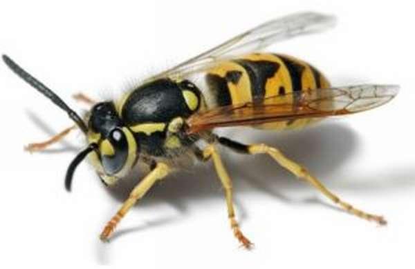 Укус осы: симптомы, первая помощь, лечение, последствия