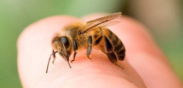 Укус пчелы: симптомы, первая помощь, лечение